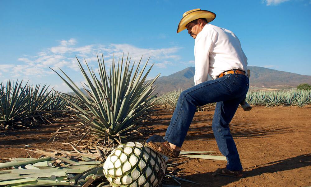 El agave, una planta para el tequila mexicano
